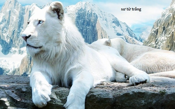 Sư tử trắng