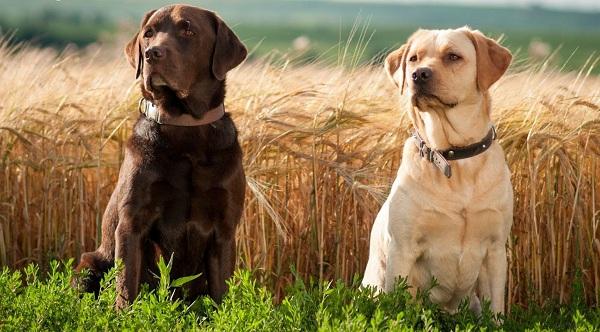 Cách chọn chó đầu đàn theo khoa học