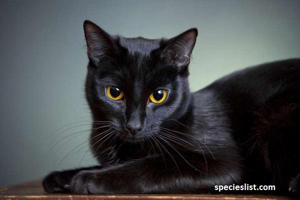 Mơ thấy mèo đen đánh con gì?