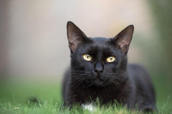 Giải mã giấc mơ thấy mèo đen