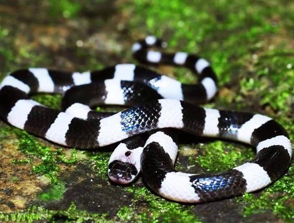 10 loài rắn độc nhất thế giới